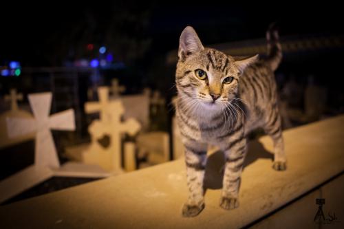 Кипрские кошки