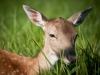 deer. олень.