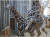 Жирафы. Зоопарк Риги.