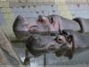 Бегемоты. Зоопарк Риги.