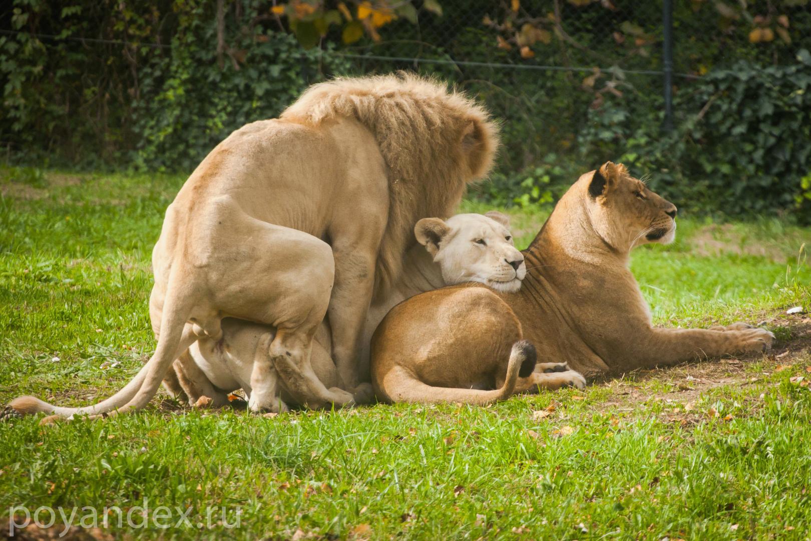 львы занимаются сексом