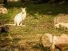 карликовый кенгуру альбинос